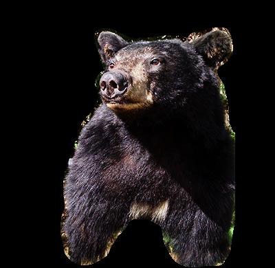 Bear-Mount-life-size